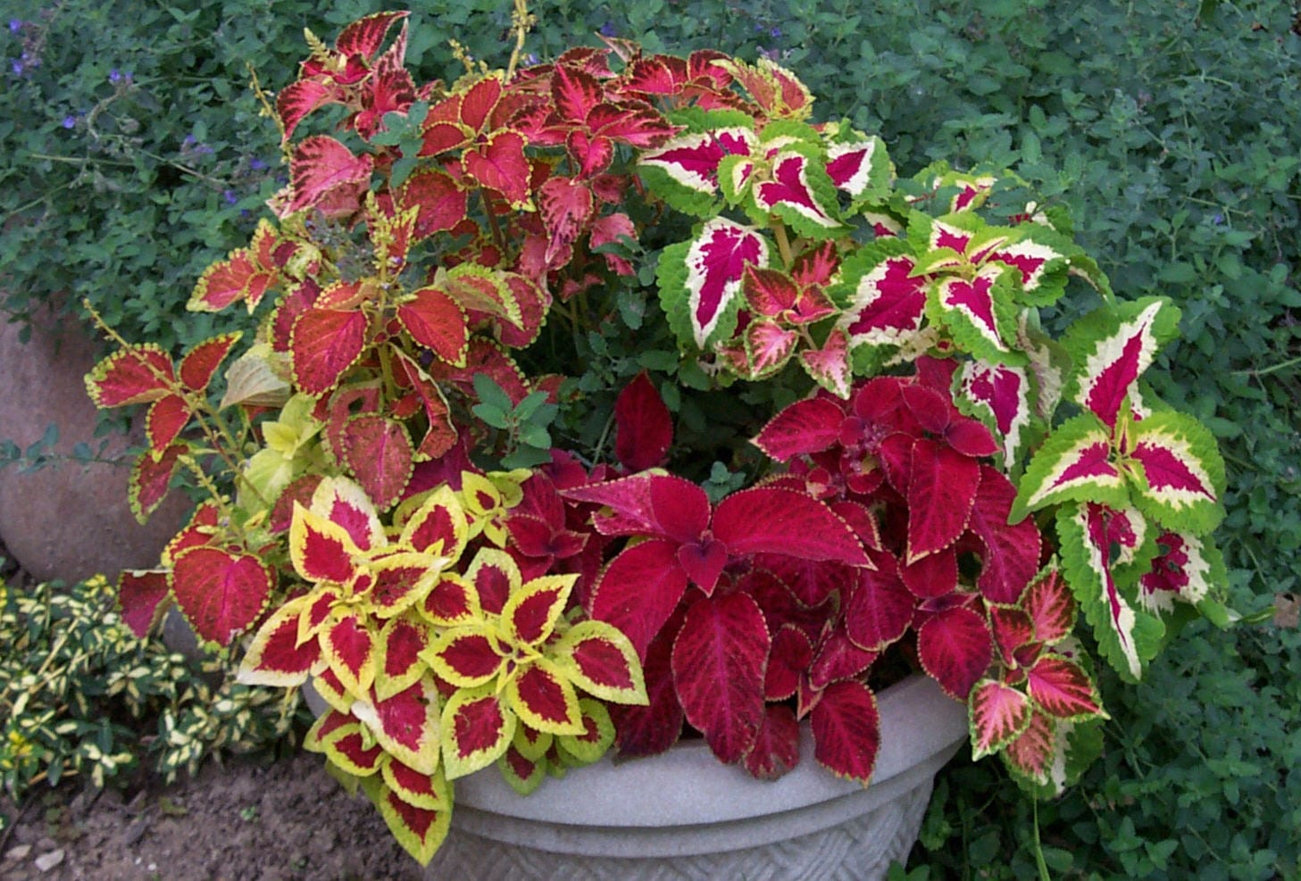 How to Grow the Coleus Plant | Coleus Plant Care
