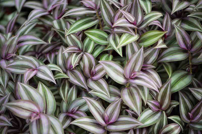 Wandering Jew Plants