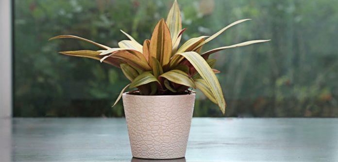 rheo plant