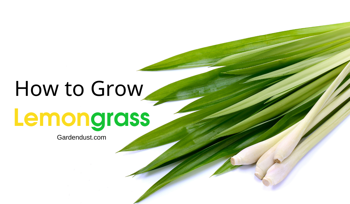 How to Grow Lemongrass