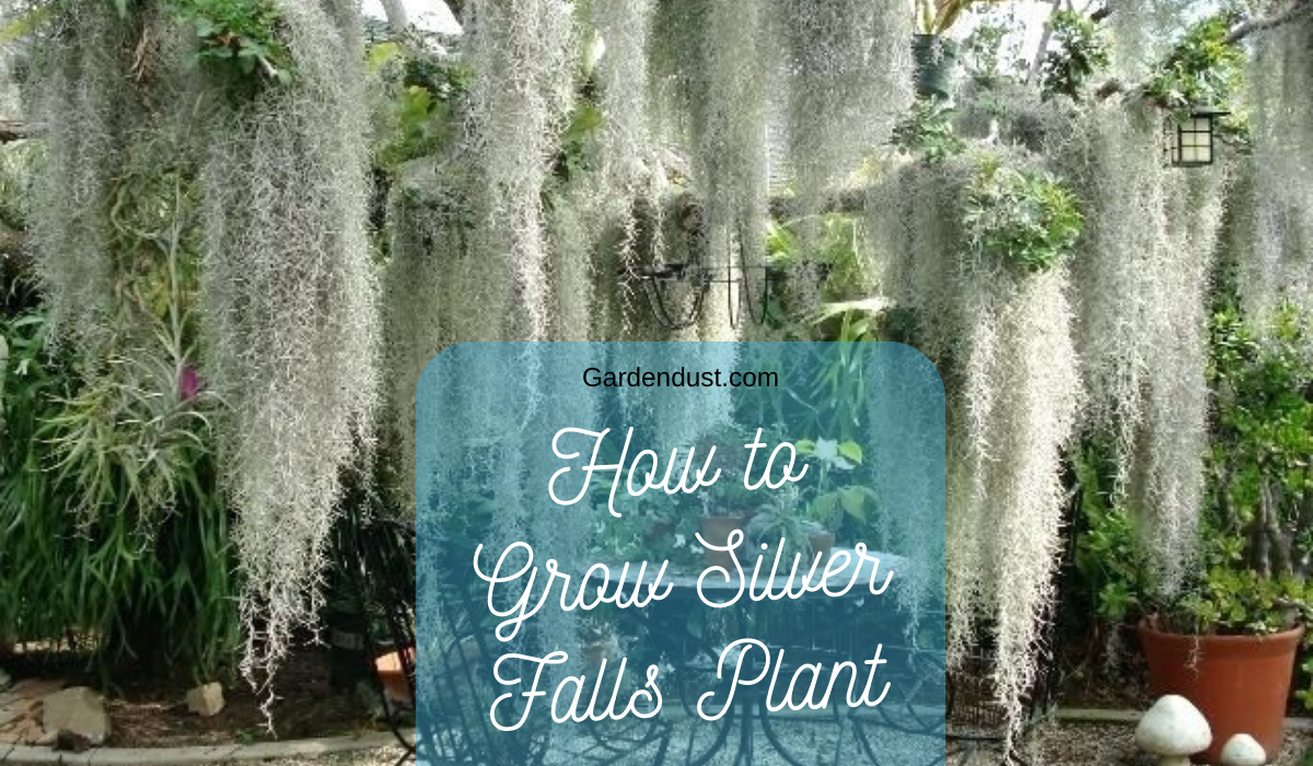 How to Grow Silver falls plant